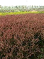 紫叶小檗小苗价格、桧柏小苗