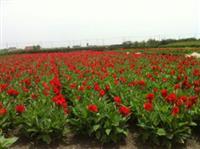 杭州萧山大量快乐赛车开奖睡莲。荷花。水生美人蕉。。。。。。。。。。。