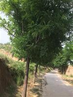 急售粗度18公分国槐树价格・粗度25公分国槐冠幅3米全冠价格
