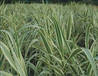 水生植物 供应花叶芦苇  花叶芦苇批发  花叶芦苇价格