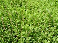 垂盆草  垂盆草价格
