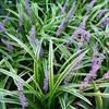 水生植物  供应金边麦冬  大量出售金边麦冬   金边麦冬价