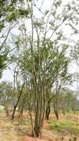 多杆朴树,丛生朴树,移栽全冠朴树,云南滇朴