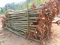 四川欒樹產區供應3----20cm欒樹,產區直銷,質量保證。