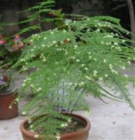 盆栽天门冬,详细植物的生长环境