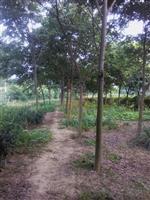 江苏红榉树价格、榉树苗圃直销