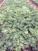 羽扇豆(又名鲁冰花)花海*选品种