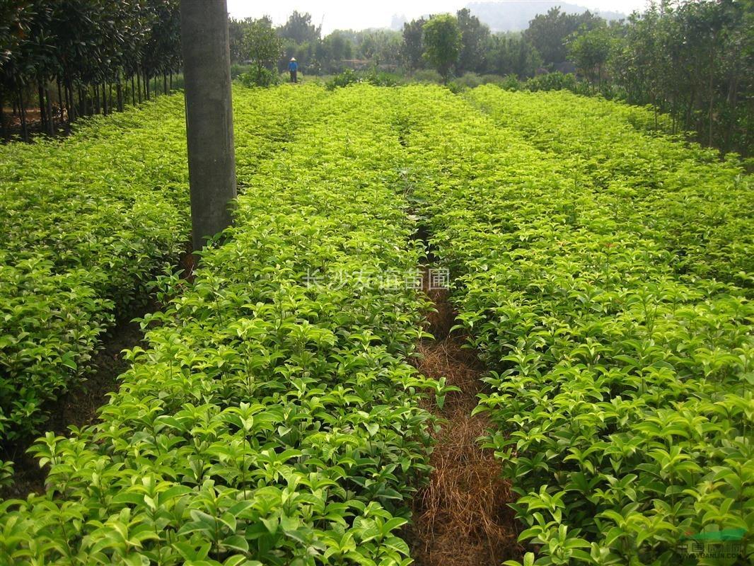 供应绿篱用小四季桂花,地被四季桂价格,30-40公分四季桂价