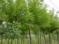 上海中山杉,东方杉,上海落雨杉,池杉,墨西哥落羽杉