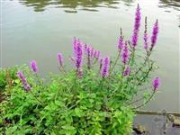 水生植物 千屈菜 芦苇 水葱 香蒲 苦藻 眼子菜 水菱,荇菜