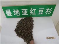 供应优质种子 优质红豆杉种子 洒金柏种子 栾树种子 雪松种子