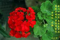 供应天竺葵种子 花卉种子 各种花种子 草花种子 盆栽花卉种子