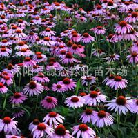 供应花卉种子 紫松果菊种子 紫锥菊 种子 花卉种子 包发芽率