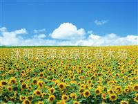 批发出口 矮化 向日葵种子 景观花卉 保质保量 包发芽率