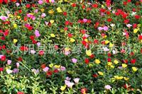 批发进口花卉种子 景观花卉种子 太阳花种子 大花马齿苋种子