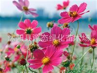 供应波斯菊种子 金鸡菊种子 蛇目菊种子 野花组合种子 一串红