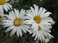 批发优质景观 花卉种子 大滨菊种子 别名 西洋滨菊 大滨菊
