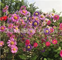 批发澳大利亚进口 翠菊花种子 花卉种子 观花种子 景观种子