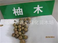 供应林木种子 缅甸金丝柚木种子 珍贵树种种子 新采摘 代收货