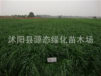 批发牧草种子 一年生黑麦草牧谣 南方北方 牧草种子黑麦草 包