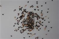 苏丹草种子、紫云英种子,苦买菜种子,美国粒籽种子 牧草种子