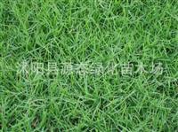 批发优质百慕大种子,矮生百慕大种子,百慕大草种,百慕大草坪
