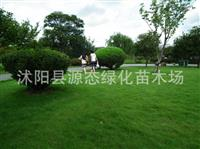 优质结缕草草种 中华结缕草种子 日本结缕草种子 结缕草草坪