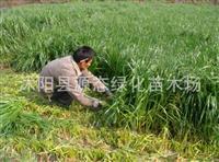 牧草种子 一年生黑麦草牧谣 南方北方 牧草种子黑麦草 包发芽