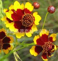 供应出口景观花卉种子,蛇目菊种子,又名小波斯菊、金钱菊