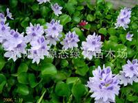 水生植物 水葫芦 凤眼莲 又名水葫芦 超强污水净化 繁殖强