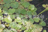 供应水生植物 水鳖 又名马尿花 芣菜 水鳖苗