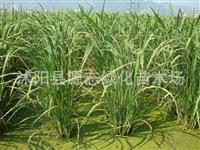 水生植物 野茭白 别称 水笋 茭白笋 脚白笋 菰 菰菜 高笋