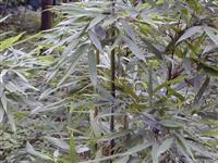 淡竹,淡竹小苗,别名粉绿竹、花斑竹、红淡竹、毛金竹,江苏淡竹