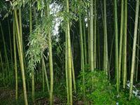 红竹,红竹种苗,红竹种子,别称:红壳竹、红鸡竹、红哺鸡竹