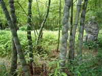 龟甲竹,龟甲竹种苗,别名:龙鳞竹、佛面竹、龟文竹、马汉竹