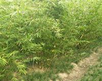 绿化乔木青皮竹,青皮竹苗,别名:篾竹、山青竹、地青竹