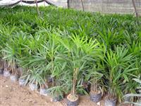 供应棕竹,棕竹苗,别名;观音竹、筋头竹、棕榈竹、矮棕竹