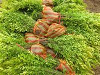 供应金叶女贞、龙柏、洒金柏、红帽月季、瓜子黄杨
