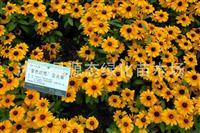 供应花卉种子 金光菊种子 黑心菊种子 盆栽种植 阳台种植