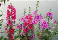 出售进口花草种子 蜀葵种子 颜色鲜艳 适合庭院种植