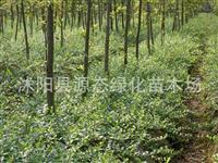 小叶扶芳藤,紫藤,大叶扶芳藤,木香、金银花 攀援植物