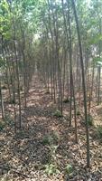 云南地区出售1-15公分朴树(青朴)田地苗
