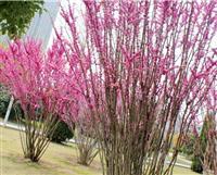 别称 裸枝树 紫珠紫荆树苗价格紫荆树 丛生紫荆价格更新