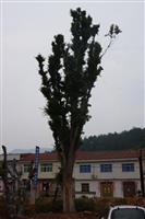66cm皂荚树