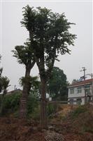 63cm皂荚树、52cm菩提树