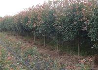 红叶石楠价格红叶石楠球价格红叶石楠树价格红叶石楠基地