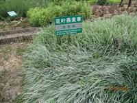 花叶燕麦草,花叶燕麦草种苗,江苏花叶燕麦草,花叶燕麦草价格