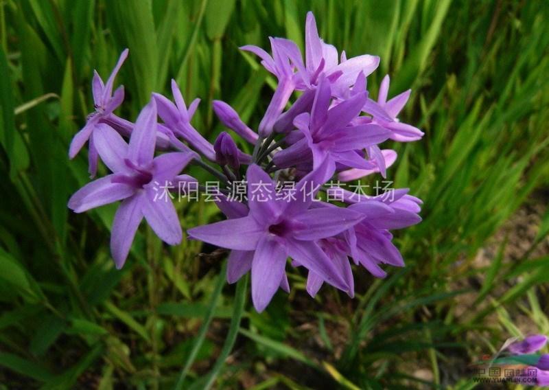 紫娇花,紫娇花种子,紫紫娇花苗,别称:野蒜、非洲小百合