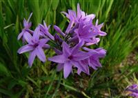 紫嬌花,紫嬌花種子,紫紫嬌花苗,別稱:野蒜、非洲小百合