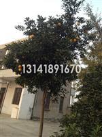江苏张家港地区供应3-10公分香橼树